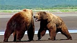 دست به گریبان شدن خرس های گریزلی