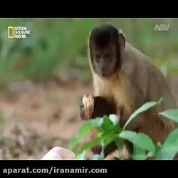 #حیات_وحش به نظرتون برنده رقابت هوش و قدرت بین میمون و جگوار، کدوم یکیه؟