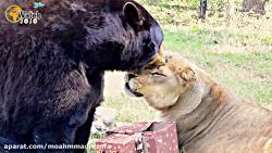 پس از 15 سالگی از دوستی، این ببر و خرس فقط می گویند شکست نهایی به شیر برادر خود