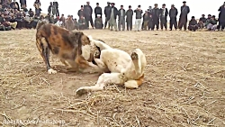 جنگ و نبرد دیدنی بین سگ های وحشی