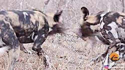 دو نیم کردن خرگوش صحرایی توسط سگ های وحشی