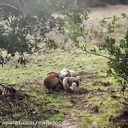 شکار سگ توسط مار پیتون