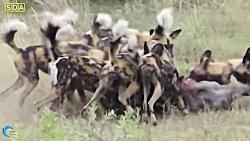 نبرد حماسی | نجات توله ها توسط شیر ماده از 10 سگ وحشی