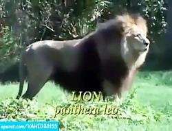 جنگ و نبرد شیر و ببر سفید در حیات وحش