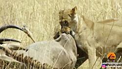 نبرد بین بز کوهی و شیر
