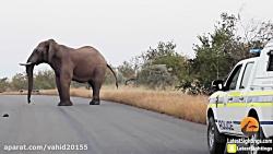 نبرد فیل با سگ های وحشی در حیات وحش