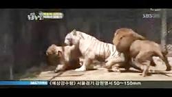نبرد ببر سفید با دو تا شیر
