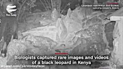 یک گونه نادر پلنگ سیاه پس از یک قرن، شکار دوربین شد