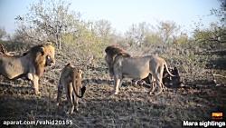 جنگ و نبرد شیرها در حیات وحش