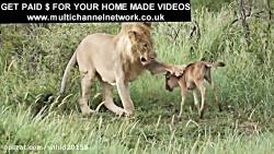 نبرد شیر با شیر در حیات وحش