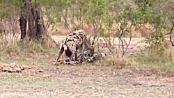 جنگ و نبرد دیدنی بین شیرها و کفتارها