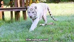 جنگ و نبرد شیر و ببر در باغ وحش