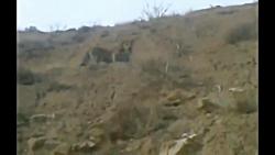 """مشاهده """"پلنگ ایرانی"""" در قاب دوربین اهالی روستای رامه پایین گرمسار"""