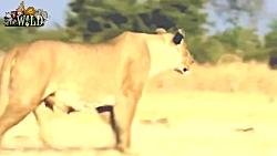 این تصاویر را هرگز ندیده اید | حمله شیرها به بوفالو