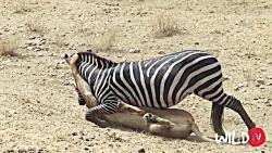 کلیپ | حملات دقیق سلطان جنگل | شیر اینگونه طعمه را شکار می کند
