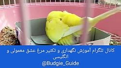 تخم گذاشتن و روی تخم نشستن مرغ عشق