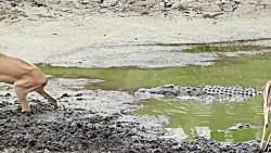 شکار سریع و وحشیانه بچه ایمپالا توسط کروکودیل