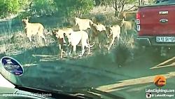 تصاویر نادر از شیر سفید