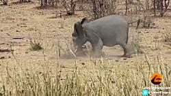 کشتن بوفالو توسط فیل