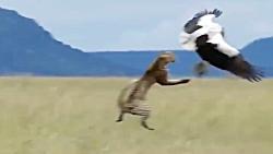 شکار کردن بی نظیر پلنگ در حیات وحش