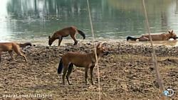 حمله سگ های وحشی به ببر