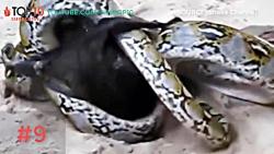 بهترین واکنش های دفاعی حیوانات در حیات وحش در مقابل حمله حیوانات دیگر