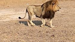 شیر, سلطان جنگل