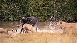 شکار گوزن توسط ببر غول ...