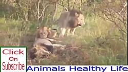 تصاویر نادر در حیات وحش | شیر مقابل شیر