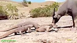 شکار حیوانات توسط اژده...