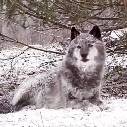 زوزه گرگ ها در جنگل برفی
