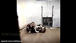 نبرد مرگبار شیر نر و ببر
