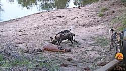 شکار و کشتن بز کوهی آبستن توسط سگ های وحشی