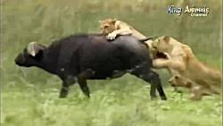 نبرد پادشاه فیل مقابل 25 شیر برای نجات بوفالو