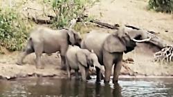 حمله کروکودیل به فیل حین آب خوردن