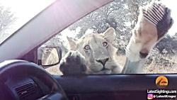 وقتی شیر تلاش میکنه وارد ماشین بشه