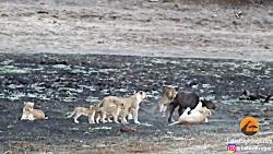 10 تا شیر مقابل یک بوفالو