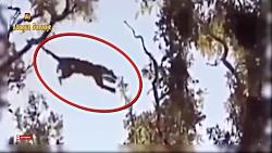 پرش شگفت انگیز پلنگ برای شکار میمون