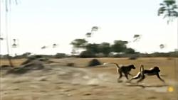 نجات میمون جوان توط مادر میمون از چنگال شیر