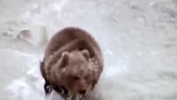 نجات خرس جوان توسط خرس ماده از حمله شیر ببر پلنگ