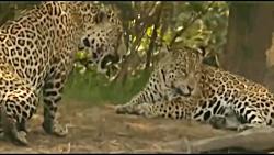حمله گربه سانان بزرگ به کروکودیل در حال خواب