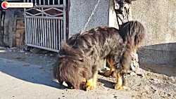 سلطان سگ ها، نژاد ماستیف تبتی با قدرتی برابر سلطان جنگل