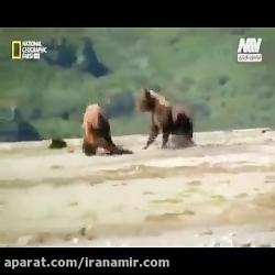 #حیات_وحش #دانستنی_ها یی درباره خرس های خاکستری