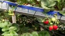 گلخانه پرورش توت فرنگی هیدروپونیک