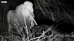 شیرها مقابل گرگ ها