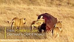 جنگ و نبرد کرگدن و شیرها در حیات وحش