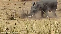 حمله وحشتناک و مرگبار فیل ها به حیوانات وحشی