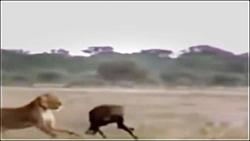 تصاویر نادر از شکار کفتار توسط شیرها