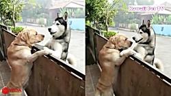 دوستی سگها