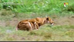 قدرت نمایی شیر, سلطان جنگل